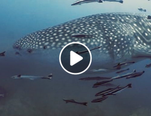 WhaleSharks à Koh Tao [vidéo]